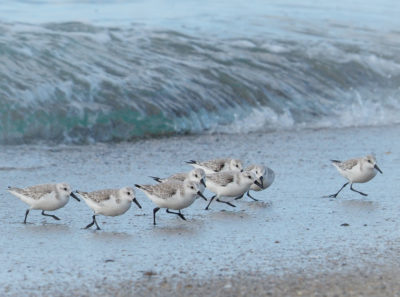 Sanderlings on Redondo Beach