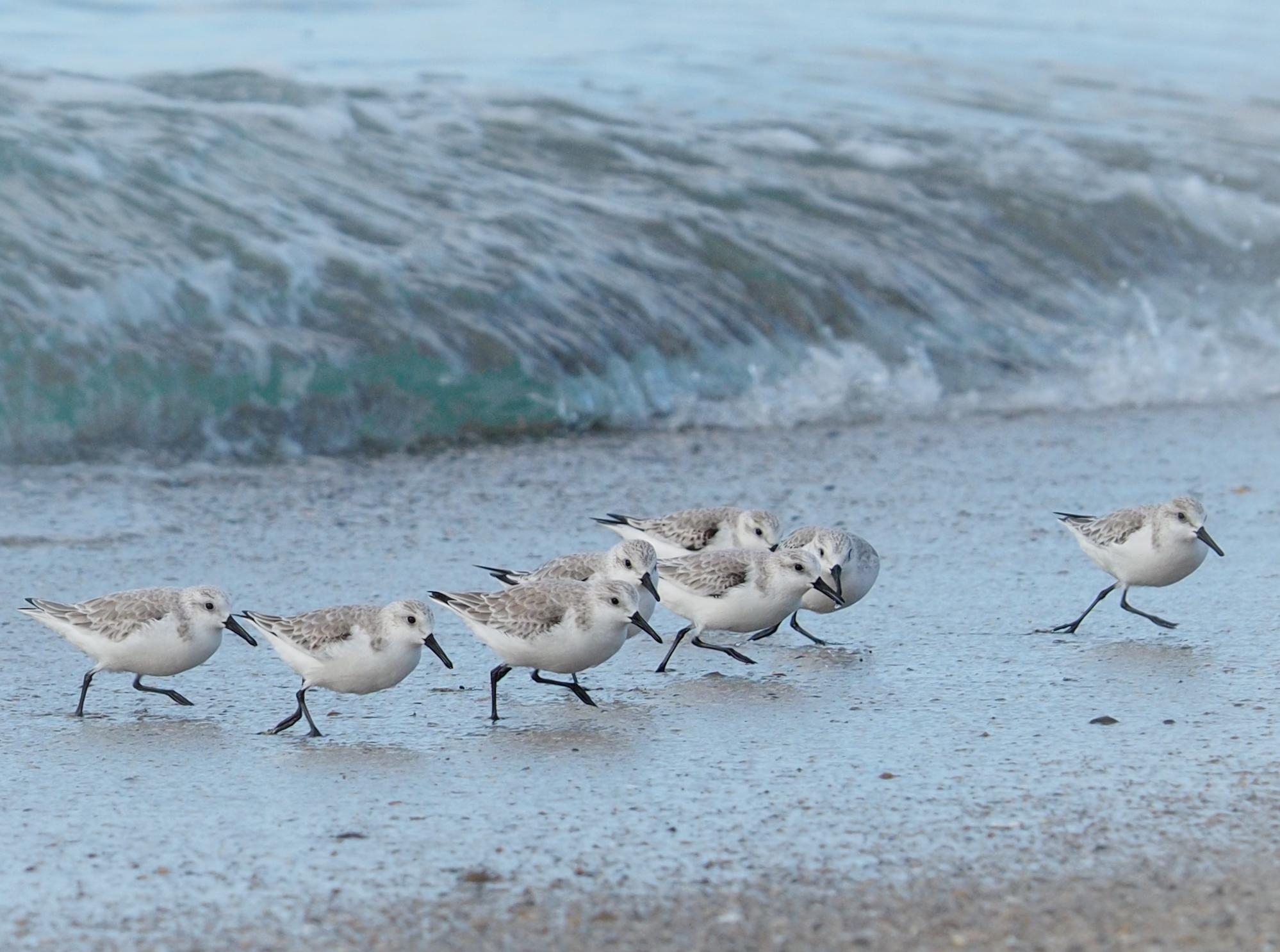 Sanderlings on Redondo Beach