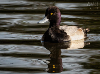 Male Scaup Reflected