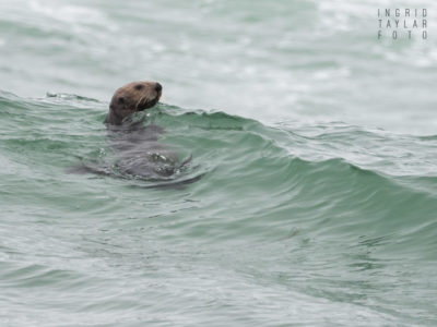 Sea Otter in the Surf at Moss Landing