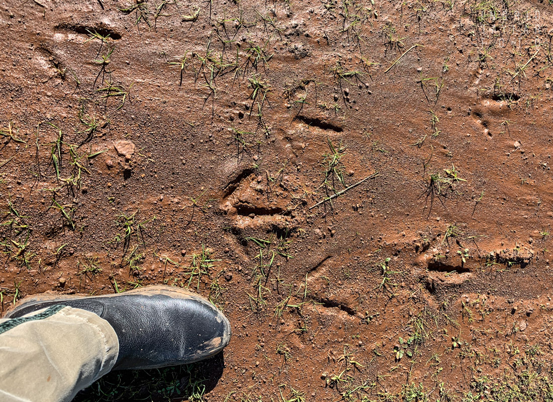 Turkey Tracks at Mt. Diablo