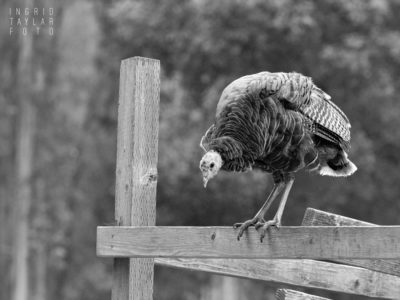 Wild Turkey Deliberating Jumping Off Fence