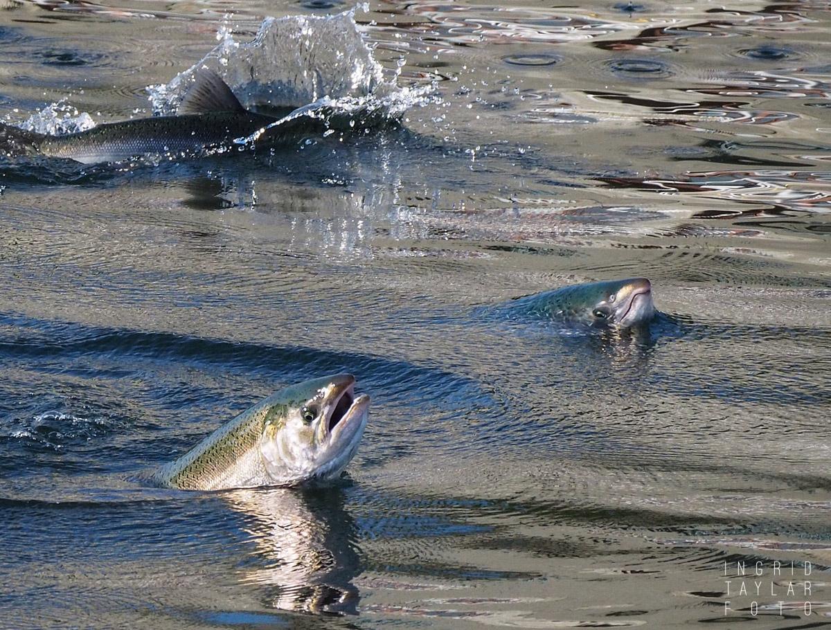 Salmon Jumping at the Hiram M. Chittenden Locks Seattle