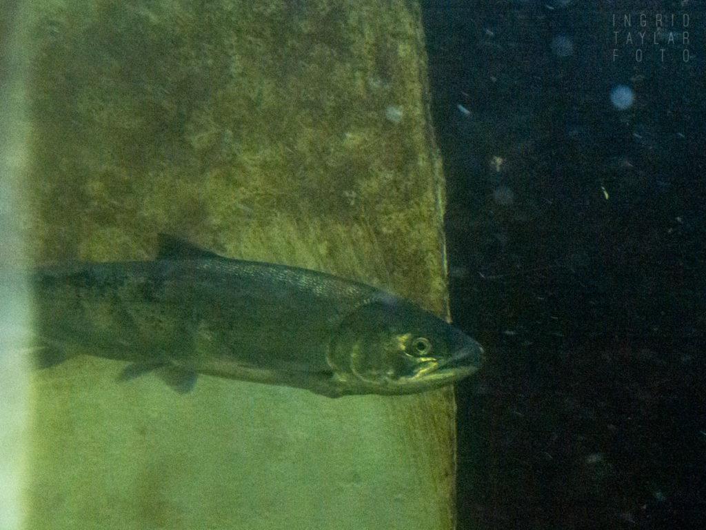 Salmon at the Ballard Locks Fish Ladder