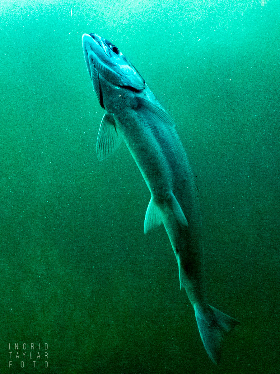 Salmon at the Hiram M. Chittenden Locks Fish Ladder