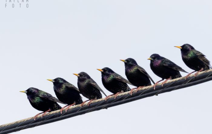 Starling Crew