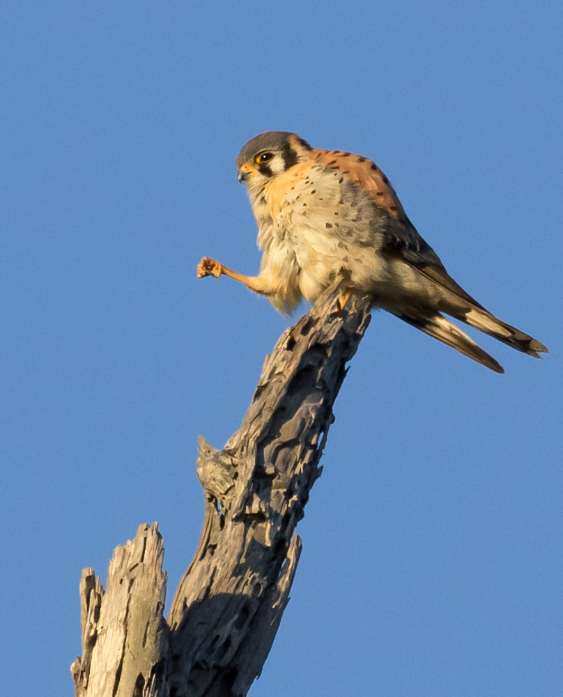American Kestrel on Tree Snag
