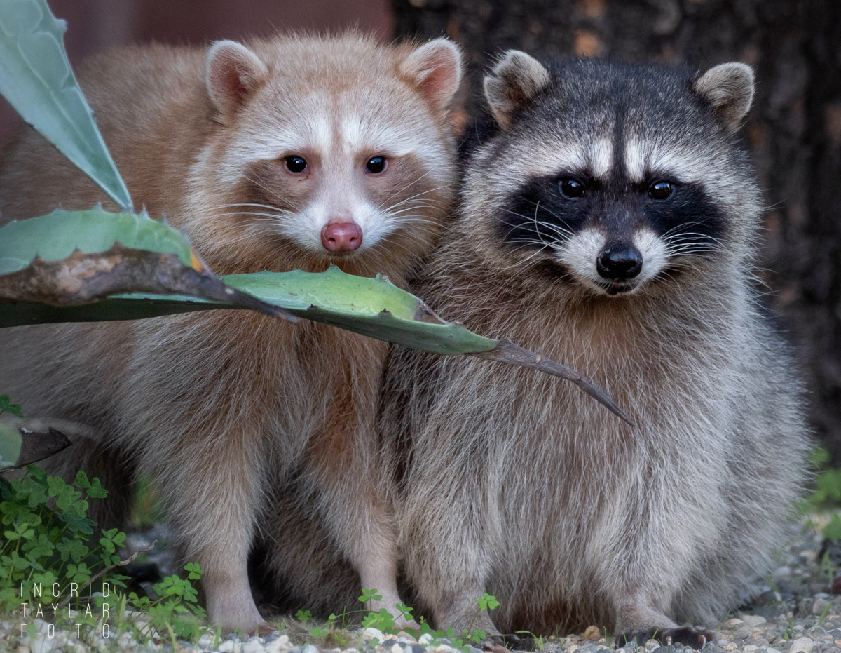 Blonde Raccoon and Sibling