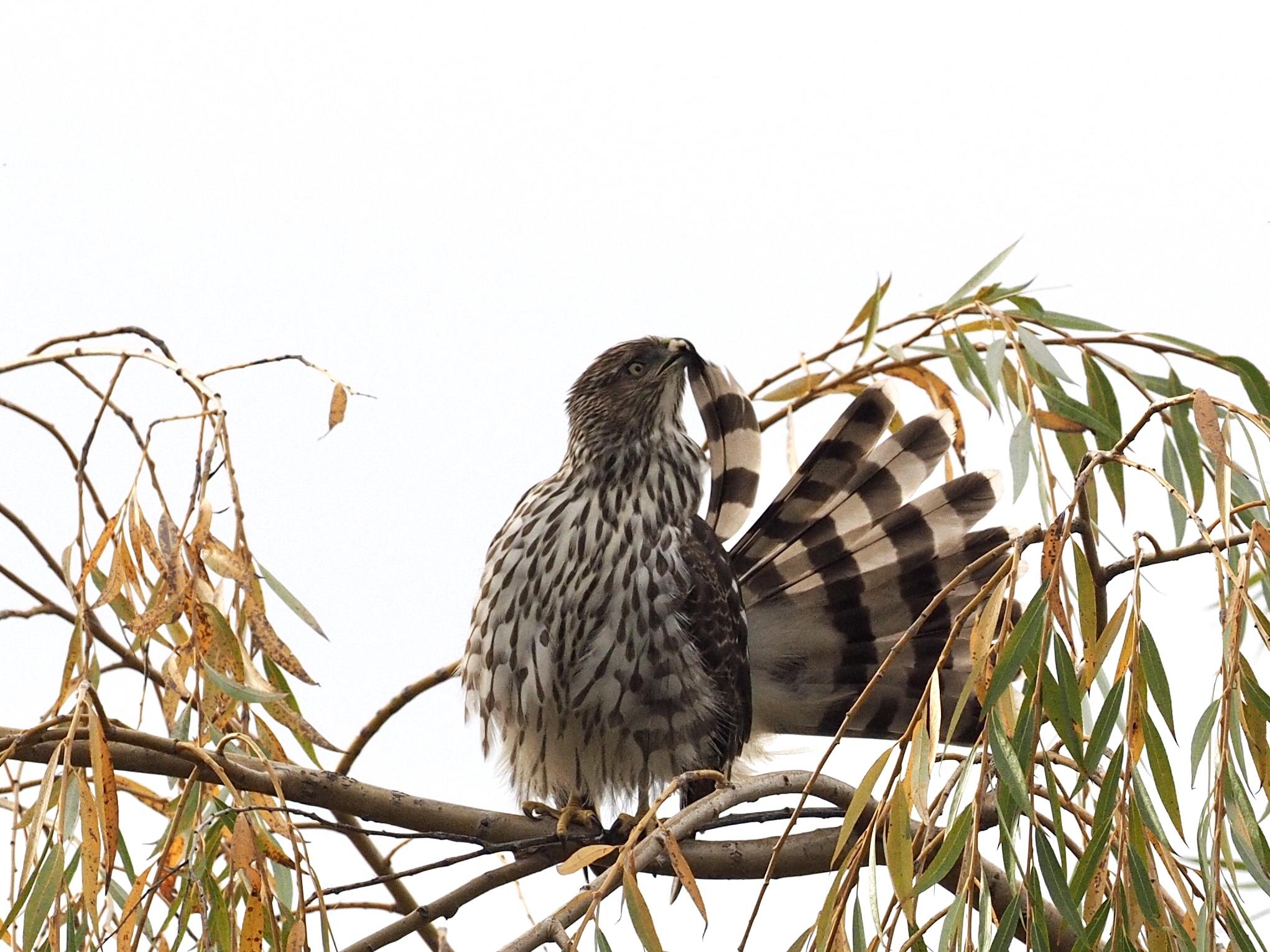 Cooper's Hawk Preening
