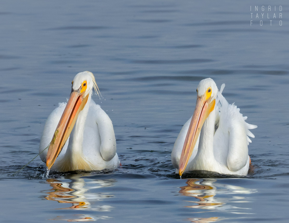 American White Pelican Duo
