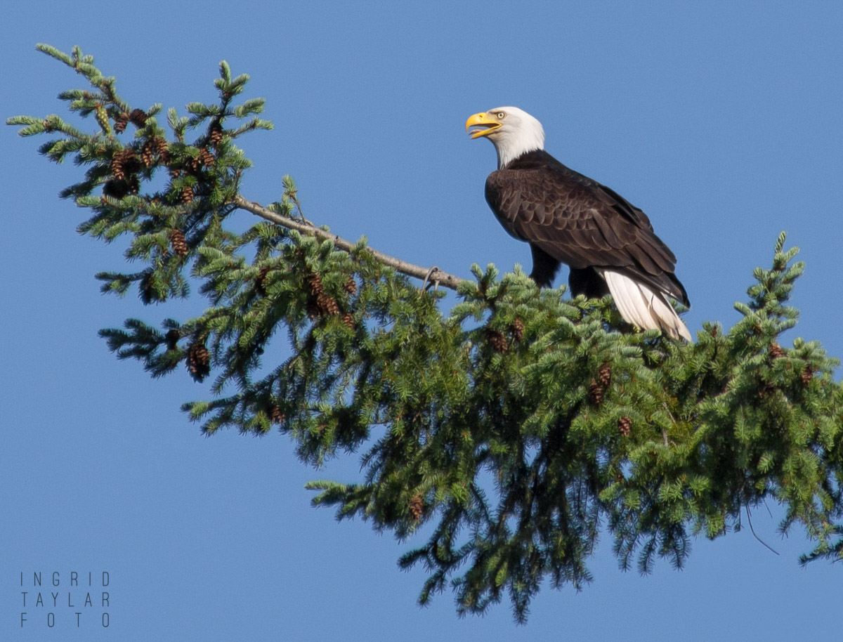 Bald Eagle on Fir Branch