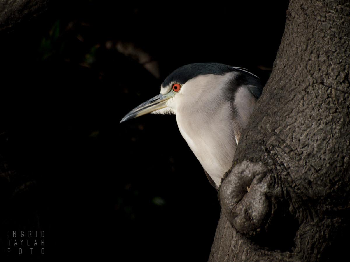 Black-Crowned Night Heron Behind Tree