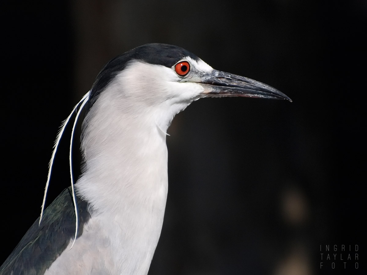 Black-Crowned Night Heron Profile