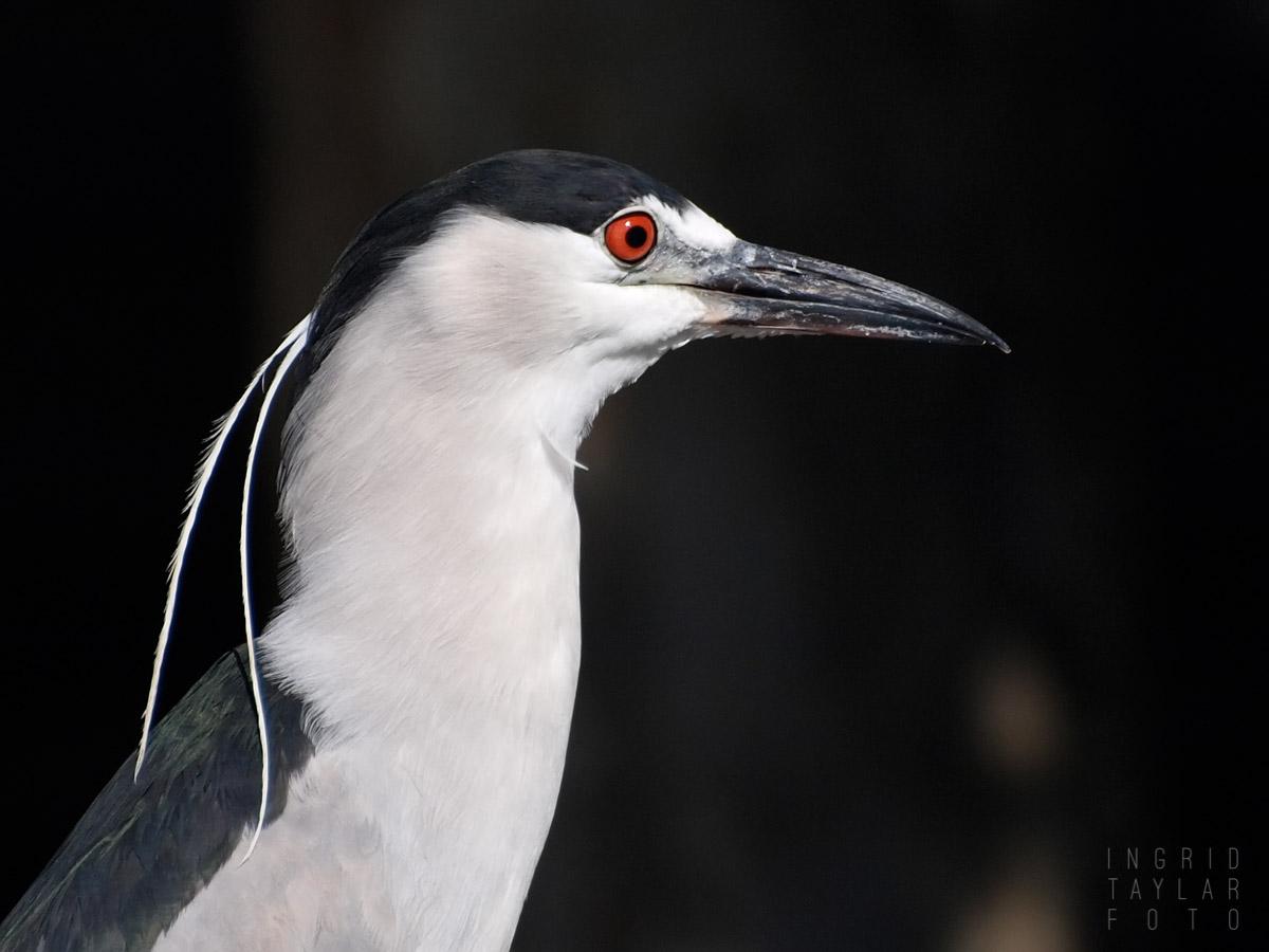 Black-Crowned Night Heron Profile