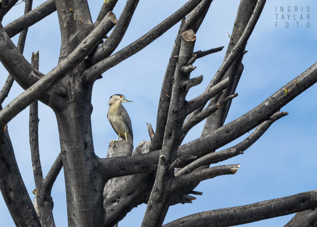Black-Crowned Night Heron in Downtown Oakland