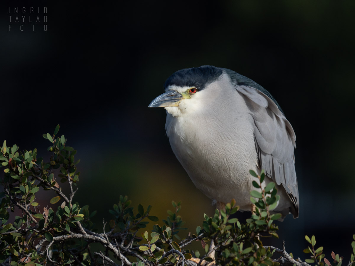 Black-Crowned Night Heron at Lake Merritt