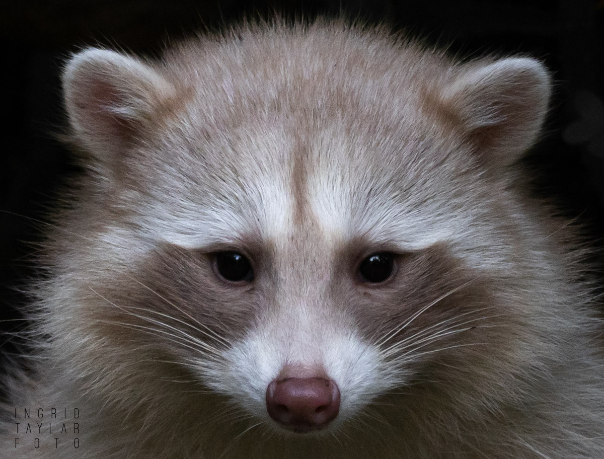 Blonde Raccoon Closeup