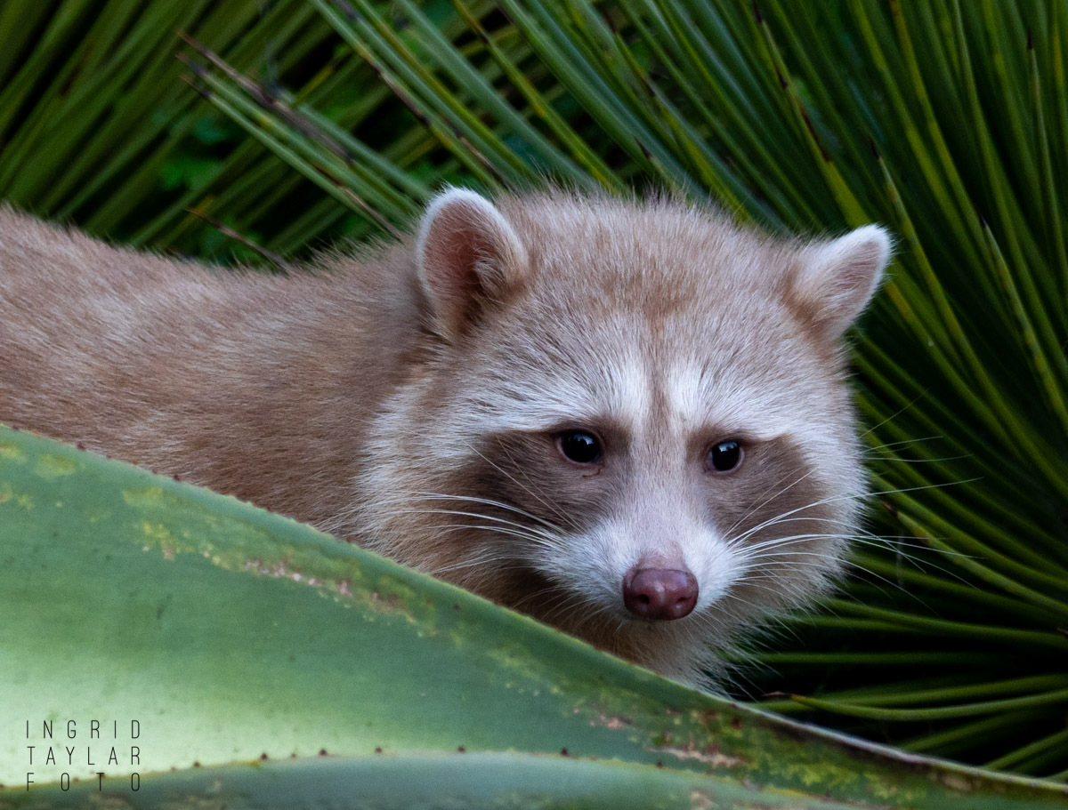 Blonde Raccoon Framed in Foliage