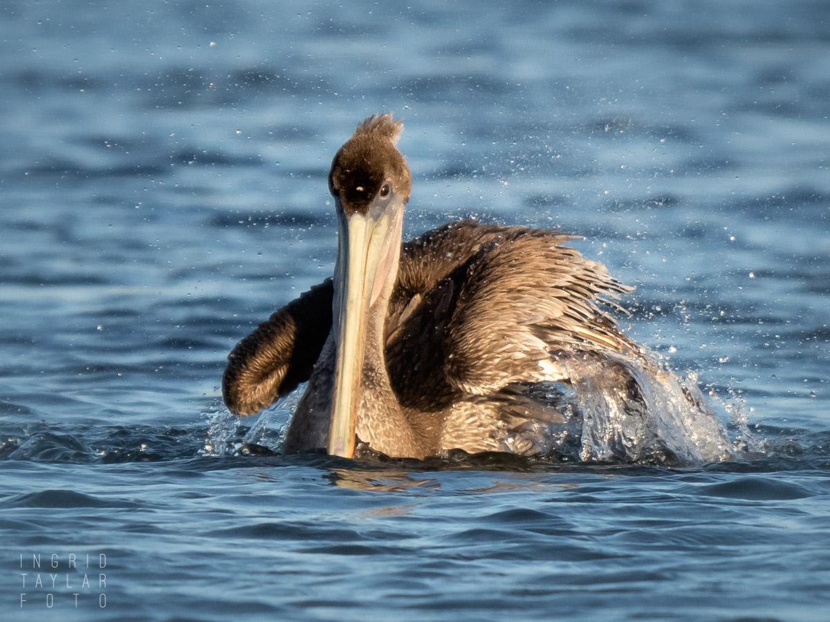 Juvenile Brown Pelican Bathing