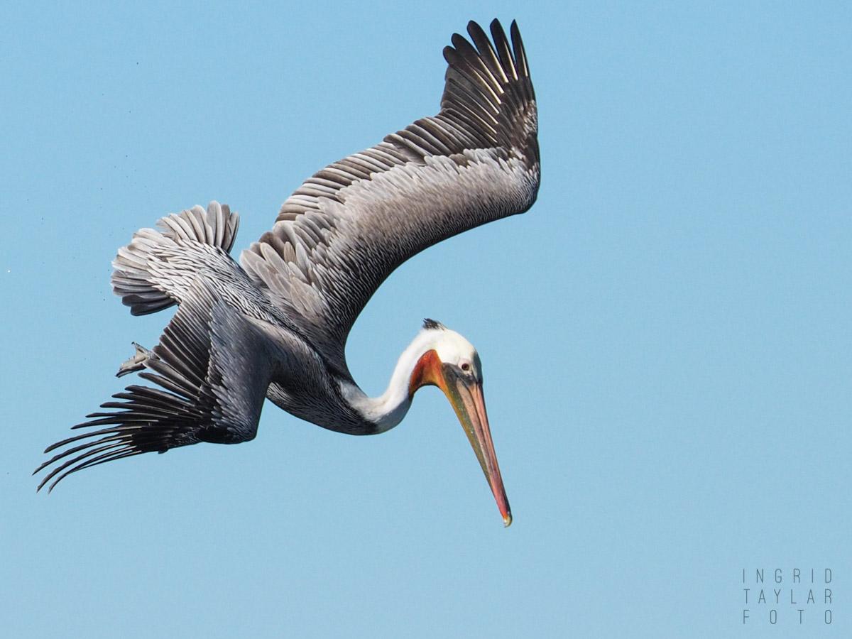 Brown Pelican Dive Pose