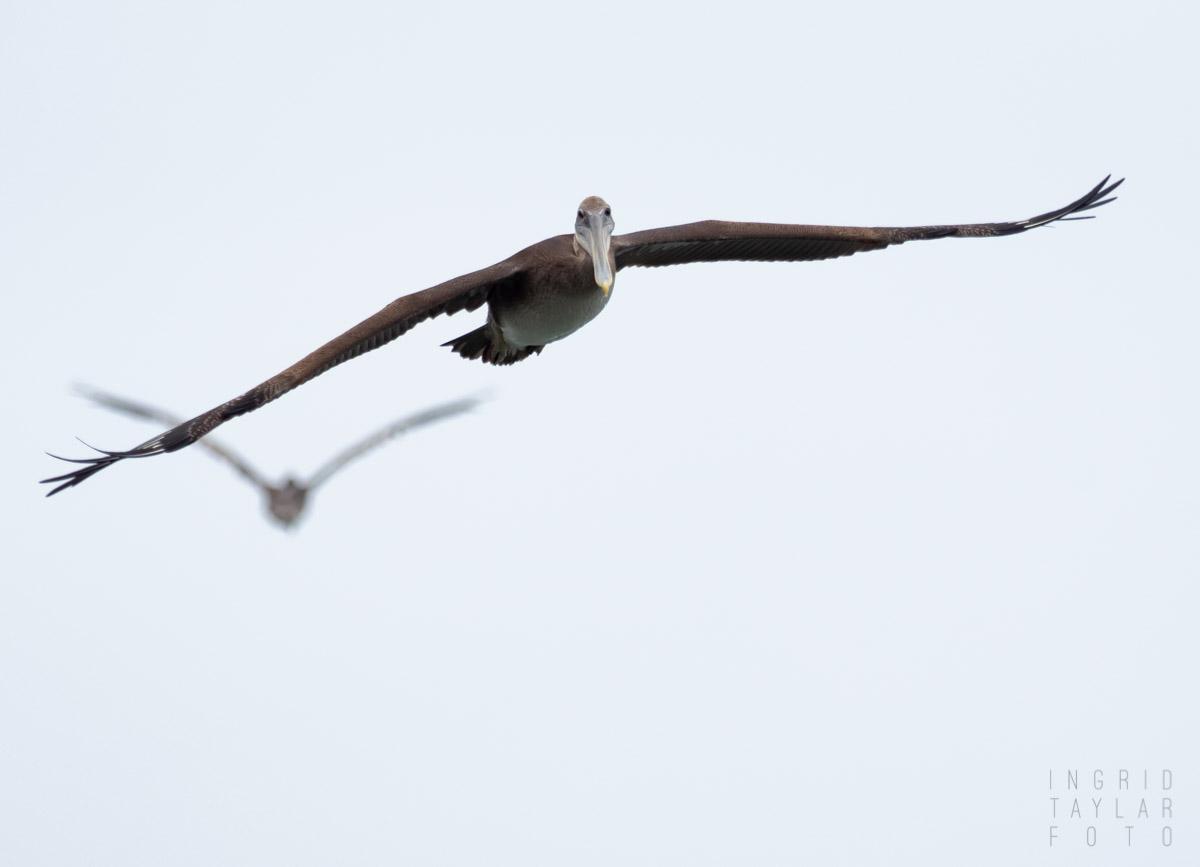 Brown Pelican Juvie in the Fog