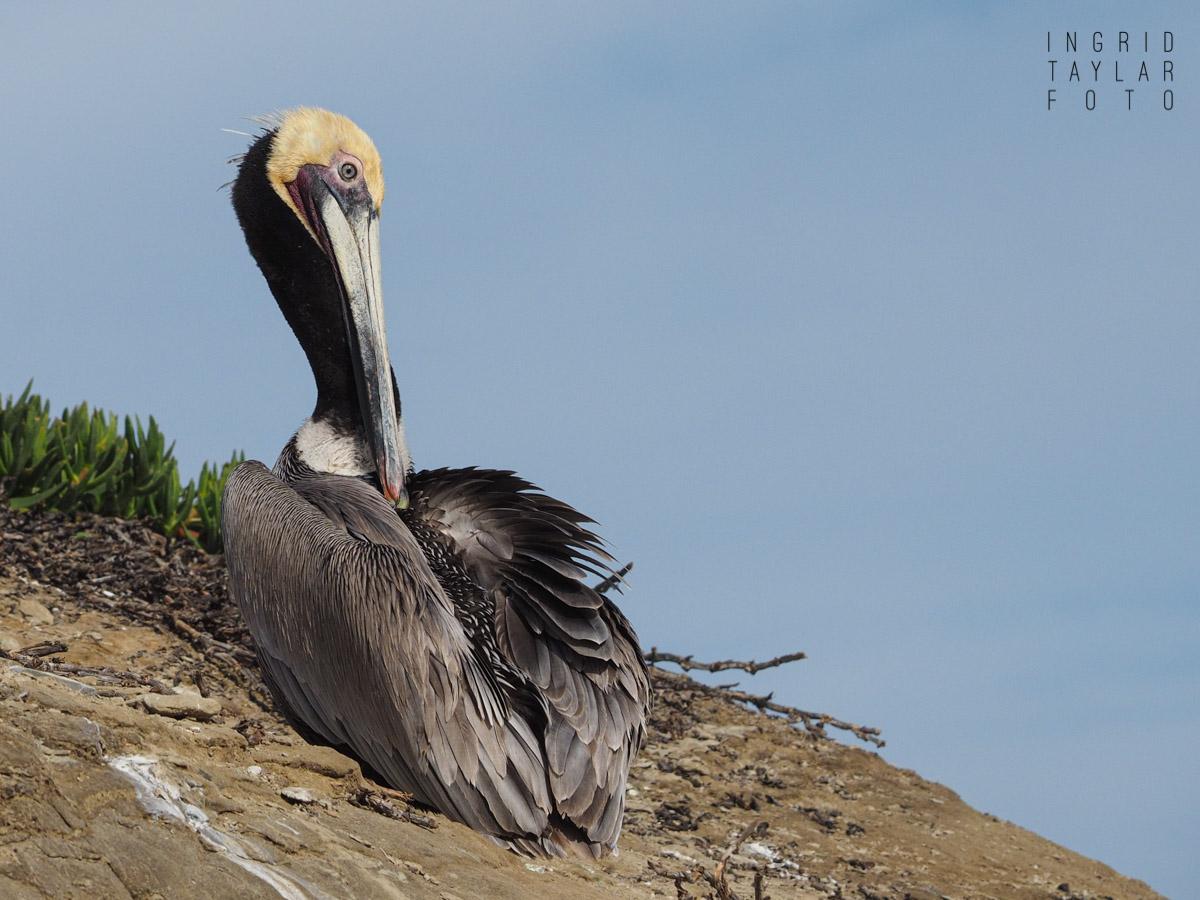 Brown Pelican Preening in La Jolla