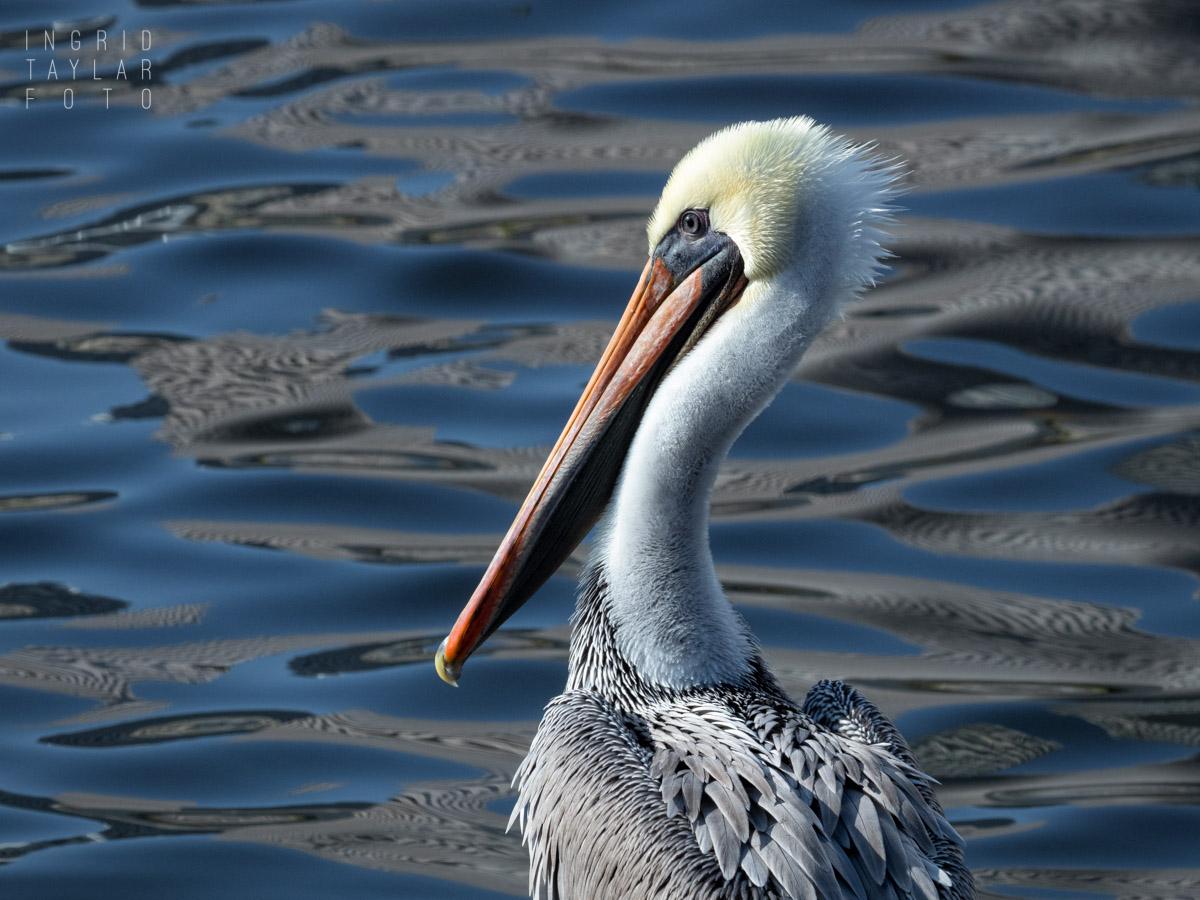 Brown Pelican Profile on Lake Merritt