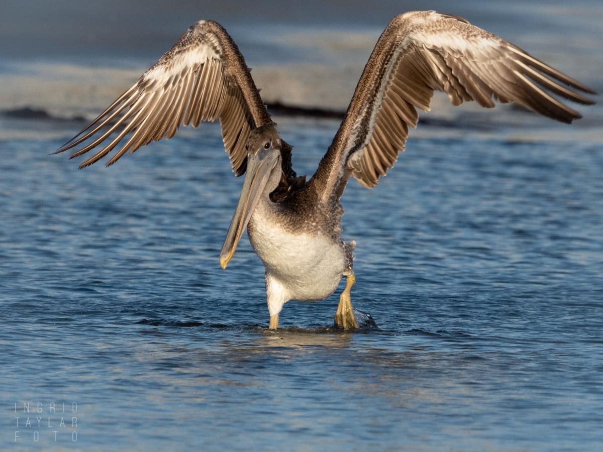 Immature Brown Pelican Post-Bath Shake Off
