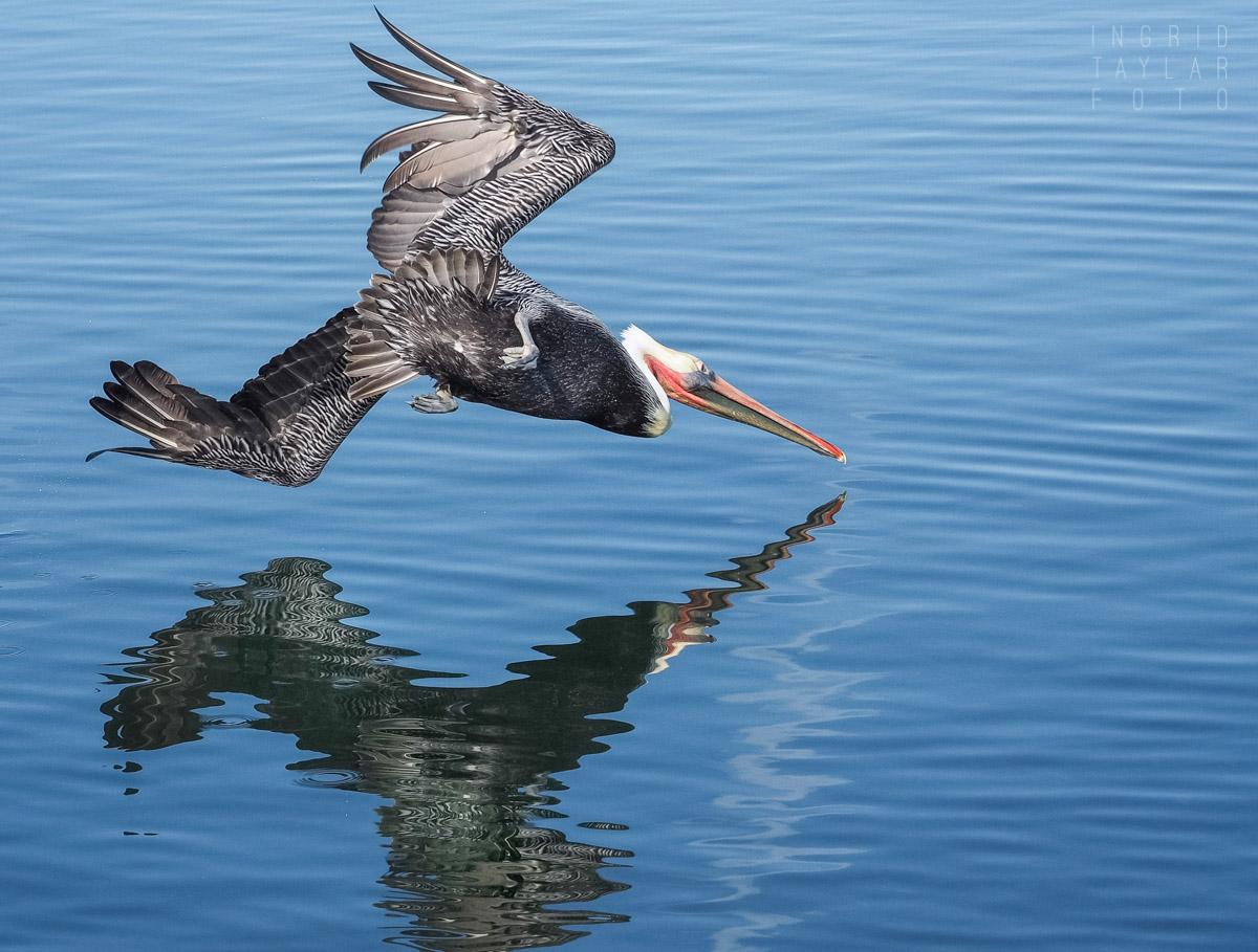 Brown Pelican Striking Water