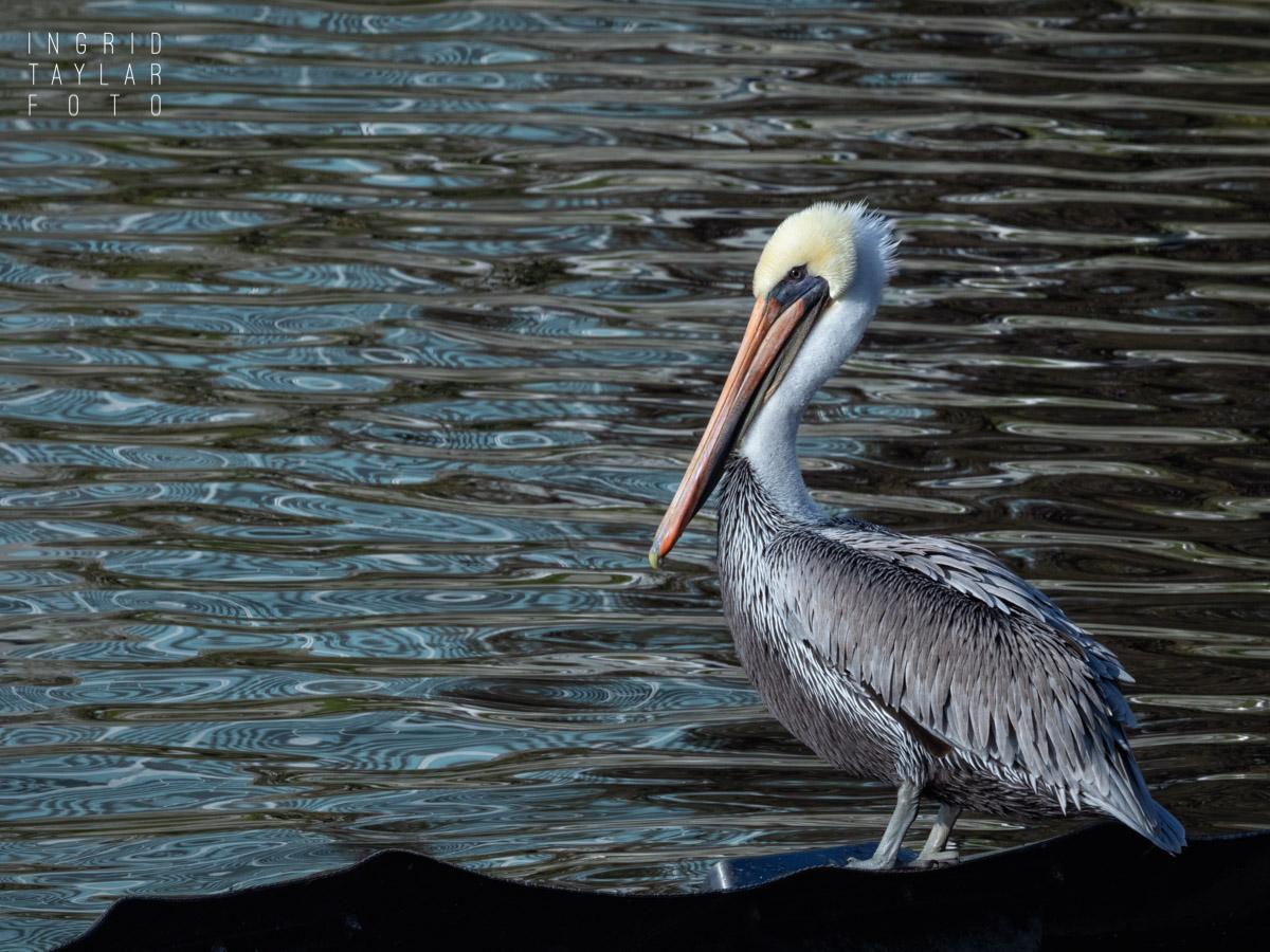 Brown Pelican and Lake Merritt Reflections