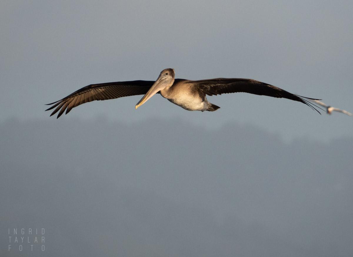 Juvenile Brown Pelican and Tern in Flight