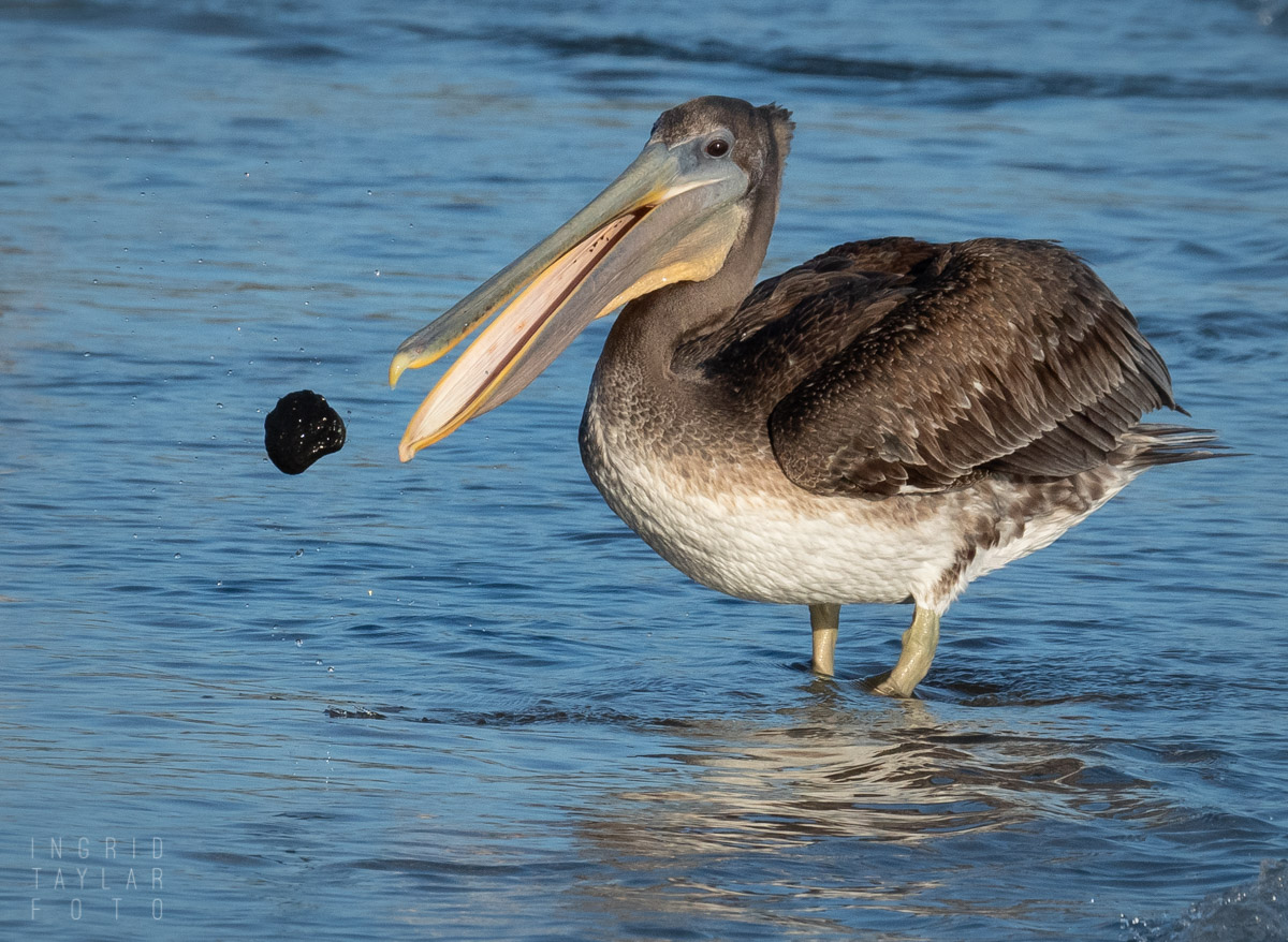 Immature Brown Pelican at Play with a Rock
