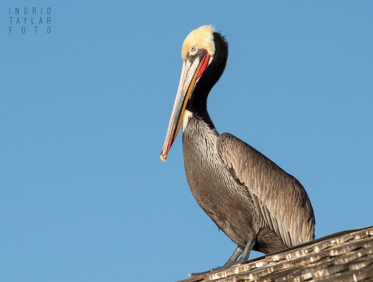 Brown Pelican on Redondo Pier