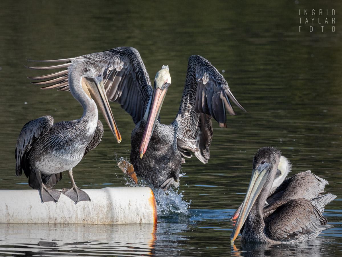 Brown Pelicans Landing on Boom in Lake Merritt Oakland