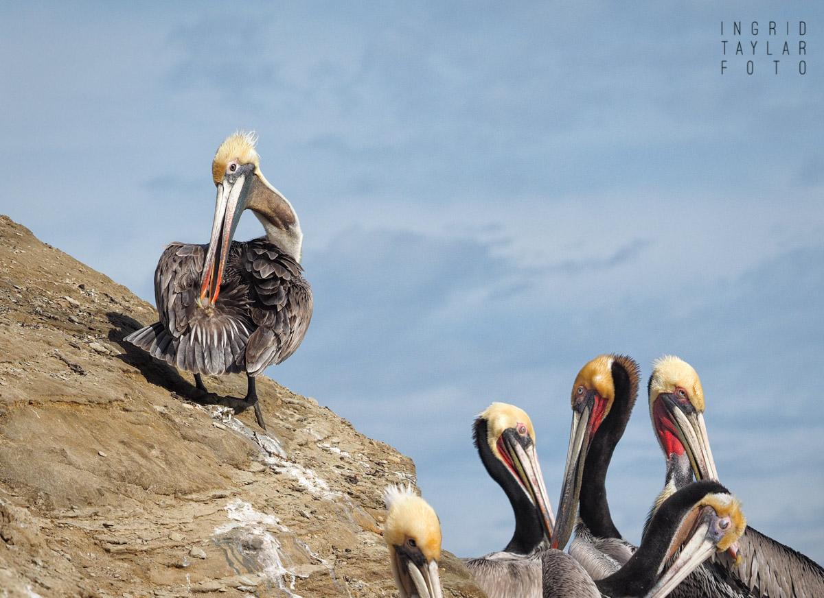 Brown Pelicans Preening in La Jolla