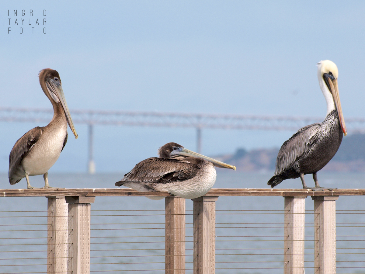 Brown Pelicans Perched on Railing