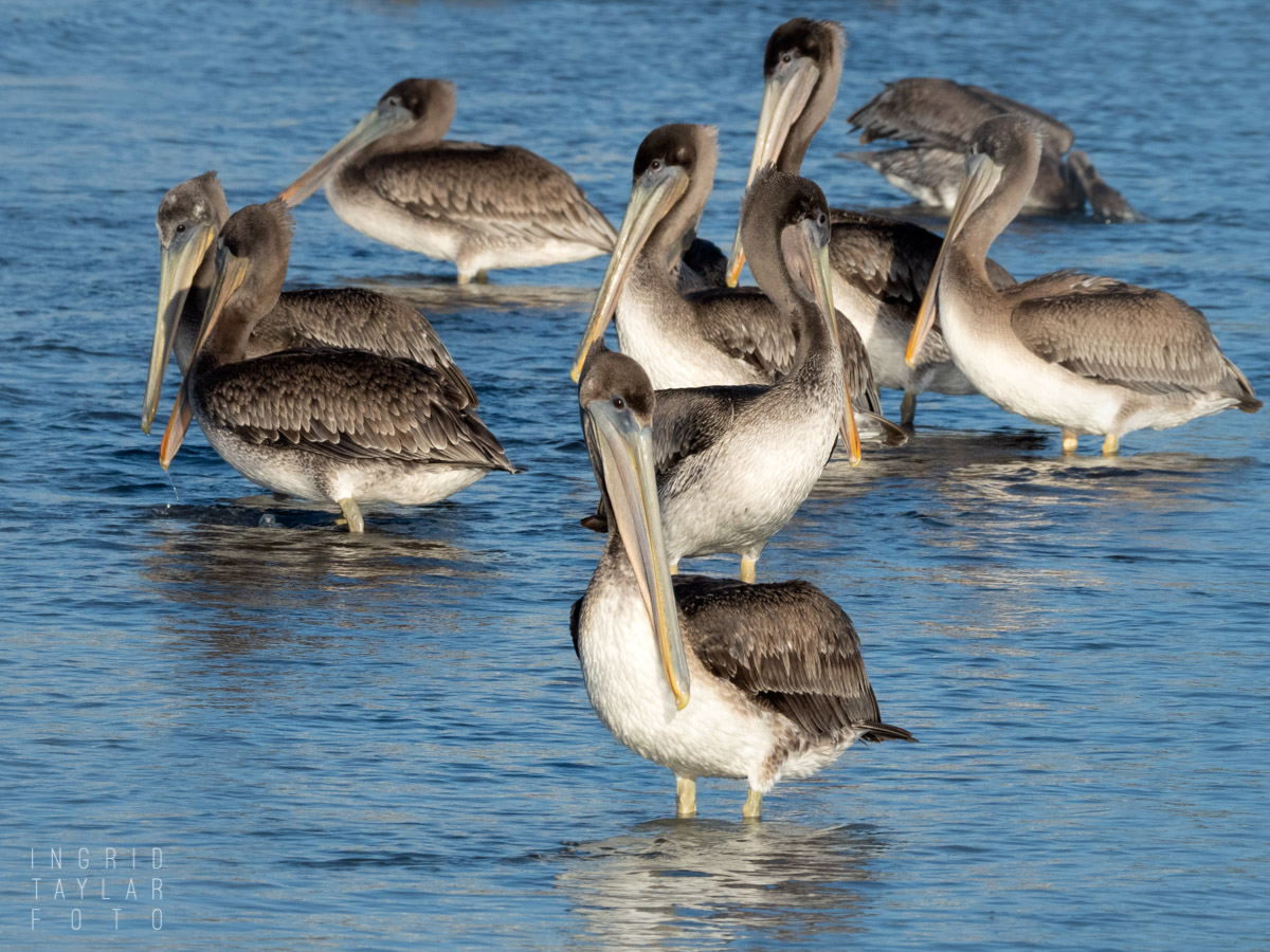 Juvenile Brown Pelicans in the Shadows