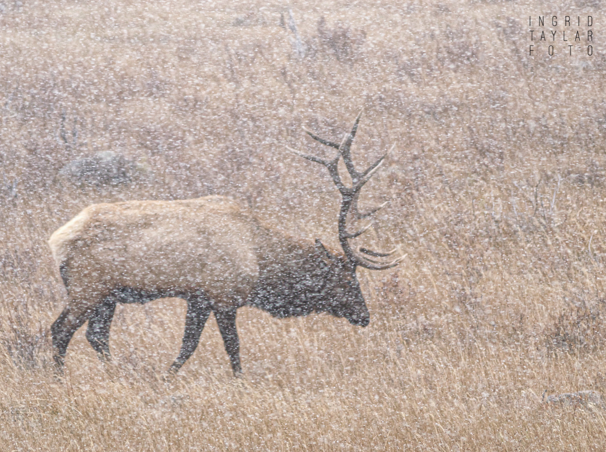 Bull Elk in Snow in Rocky Mountain National Park