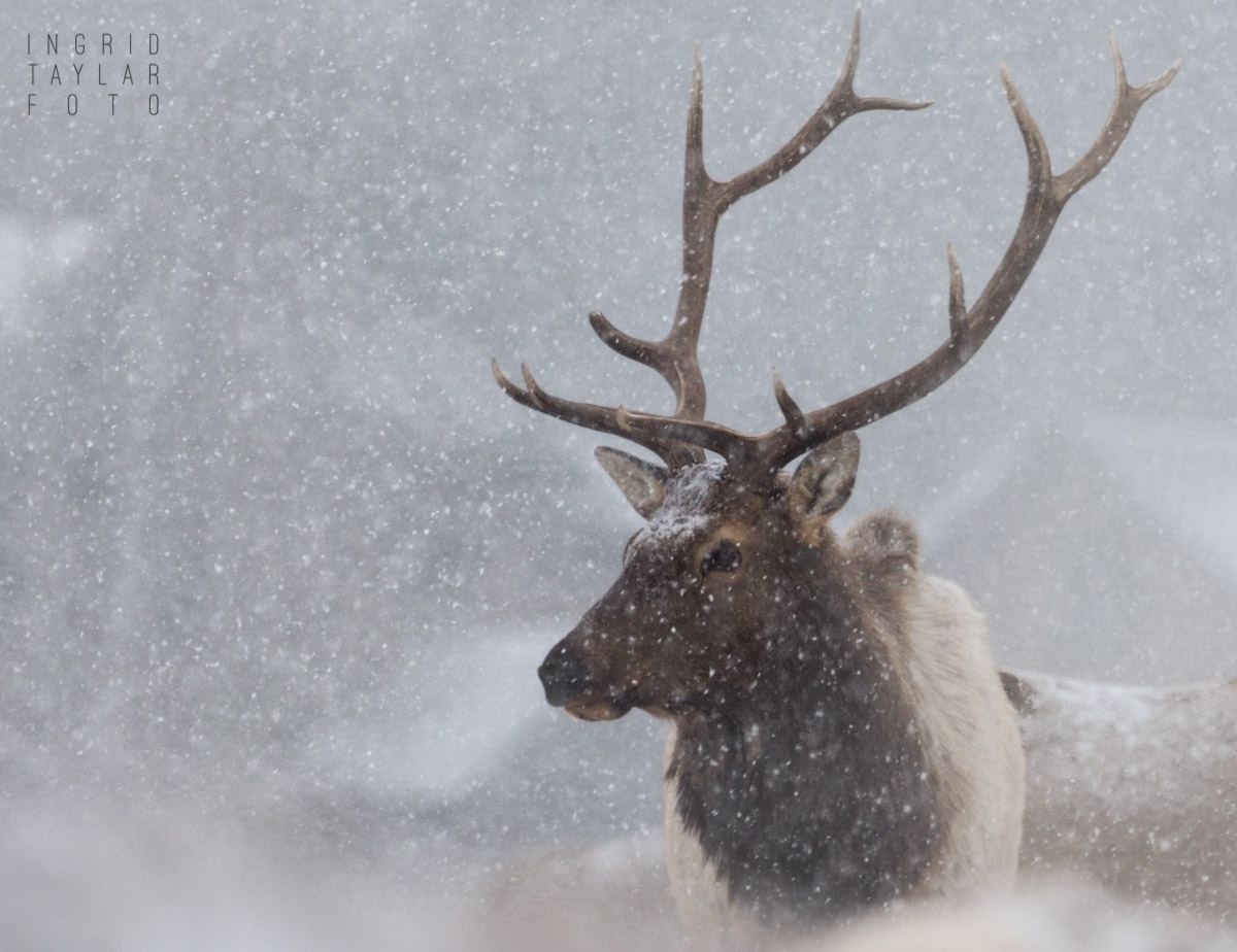 Bull Elk in the Snow in Estes Park