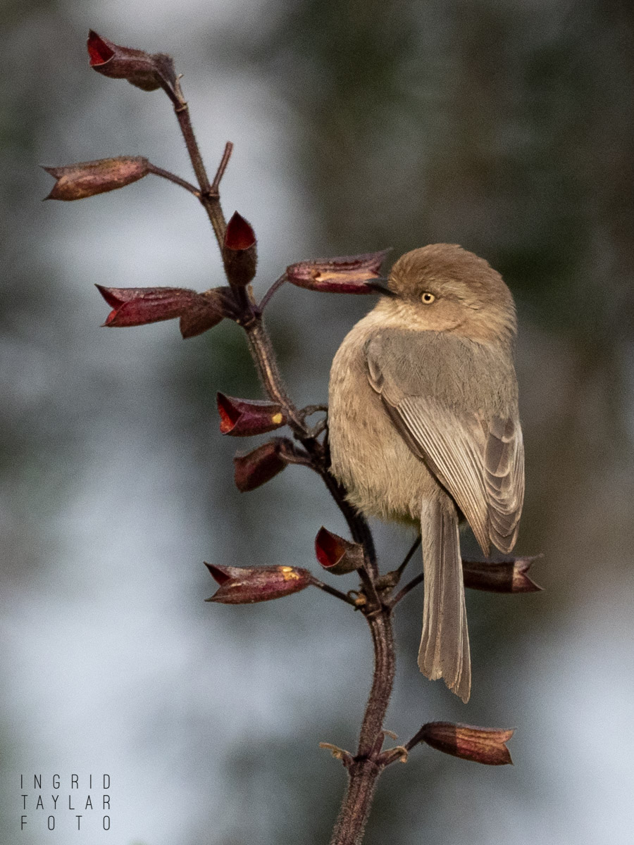 Bushtit at Lake Merritt