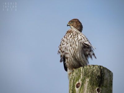 Wind Blown Cooper's Hawk