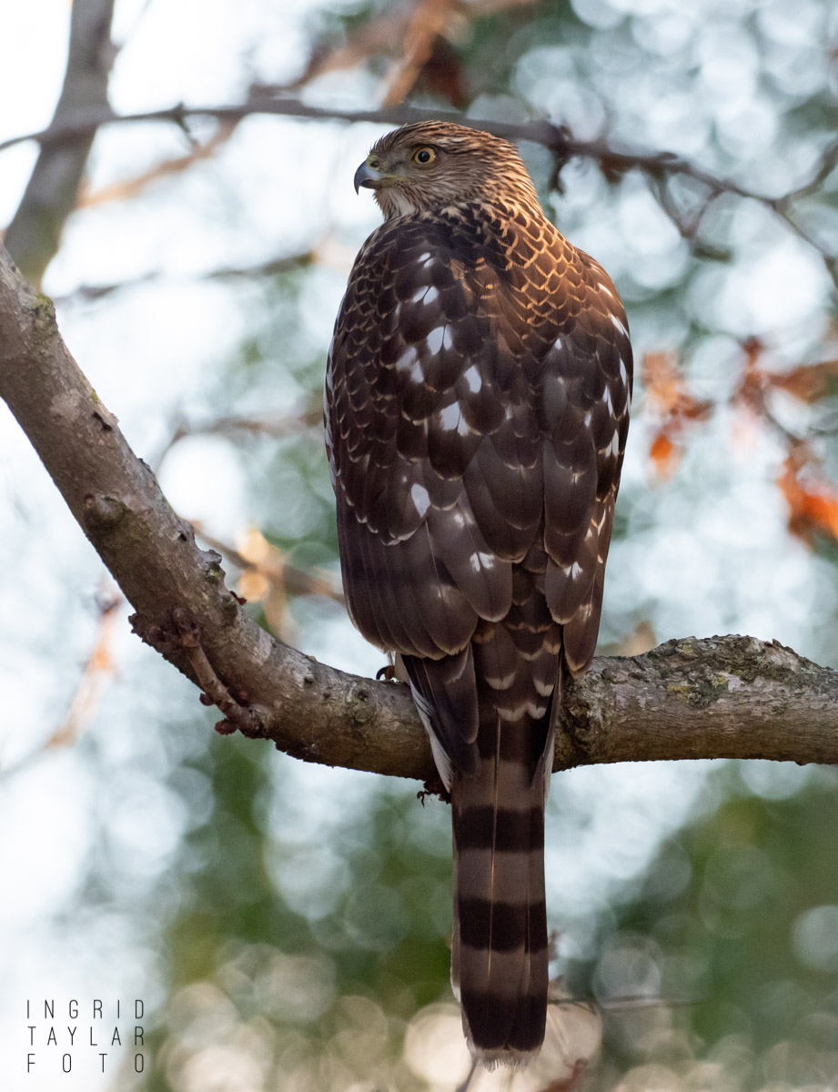 Cooper's Hawk Back and Tail