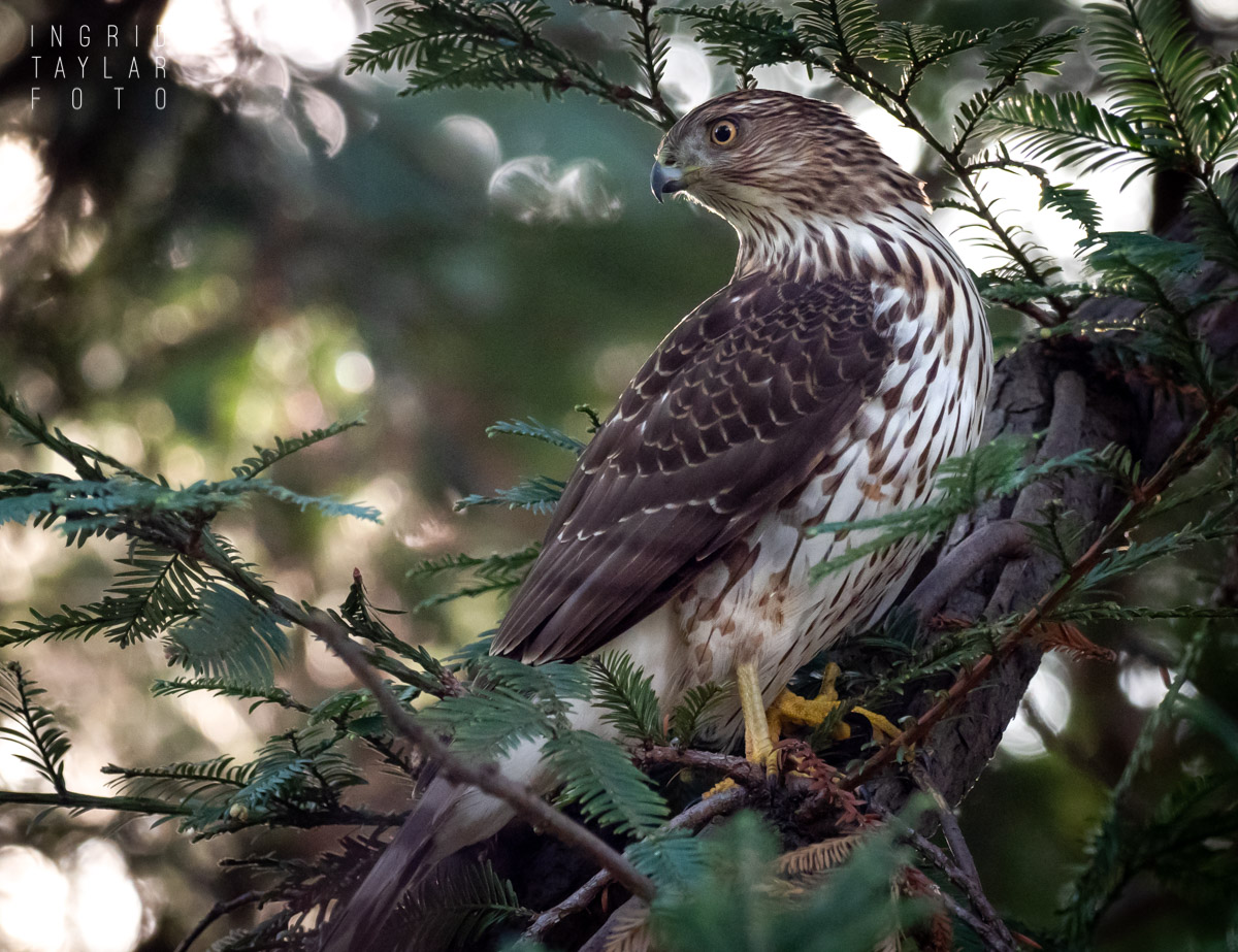 Cooper's Hawk in Fir Tree