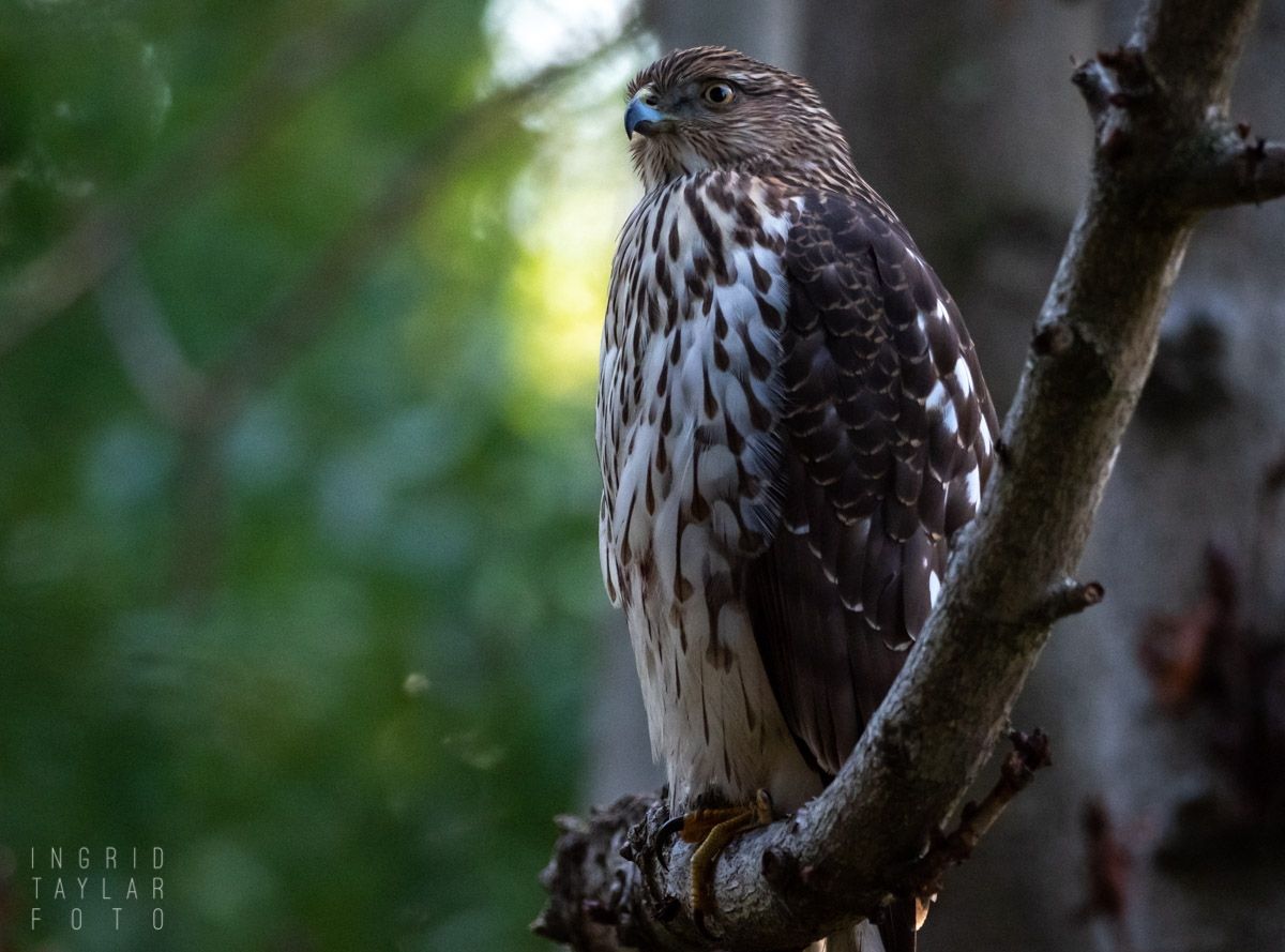 Cooper's Hawk in Shadow