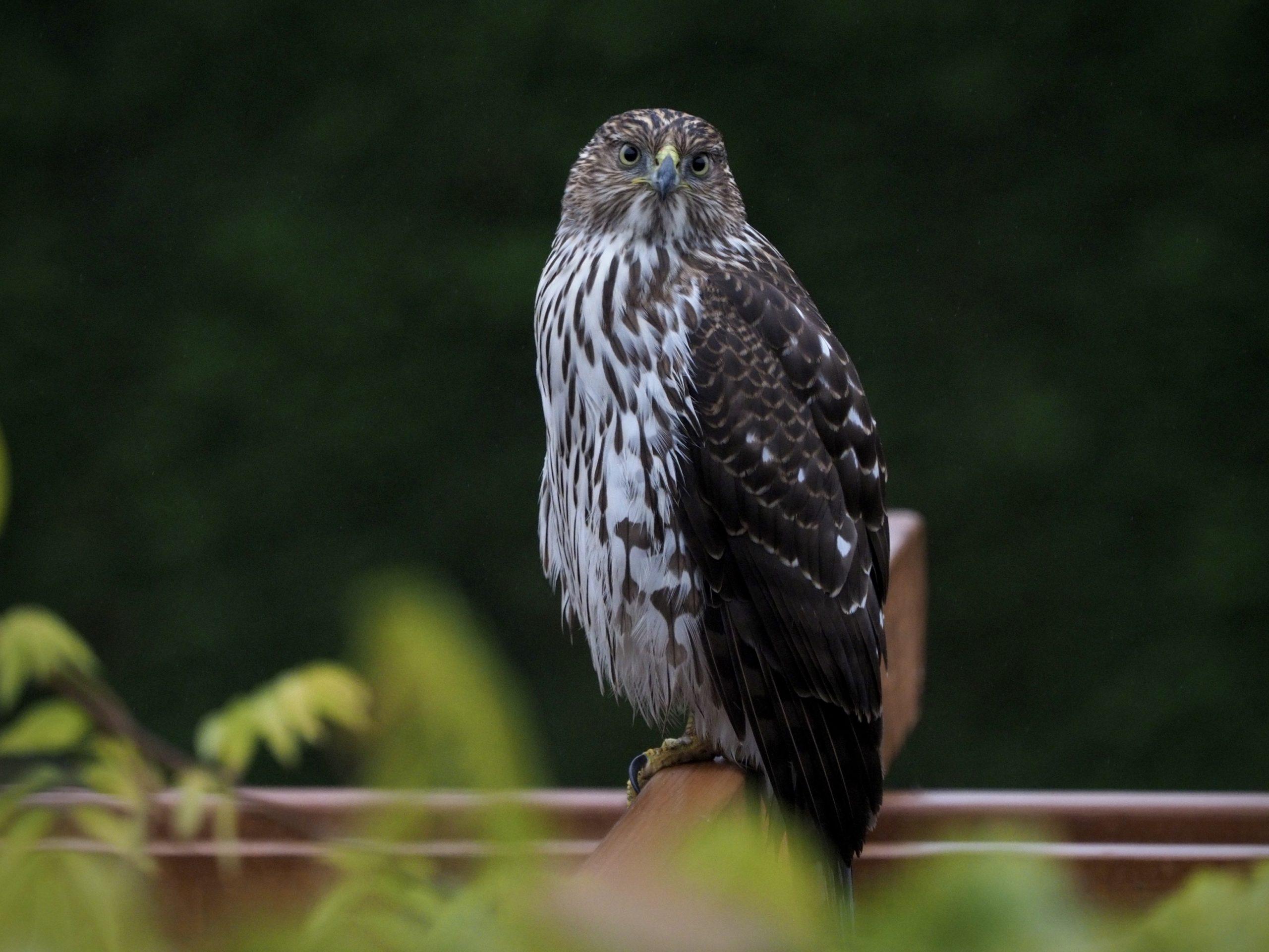 Cooper's Hawk on Pergola