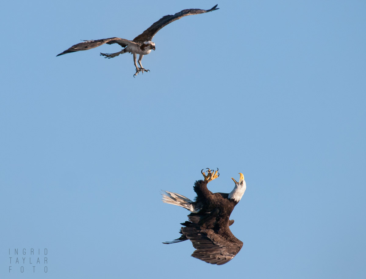 Eagle Osprey Scuffle