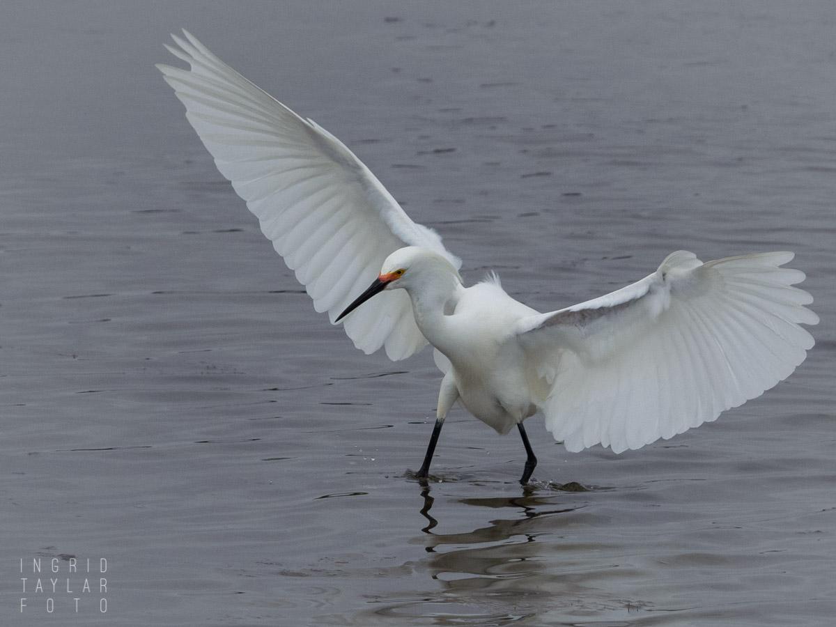 Snowy Egret Take Off