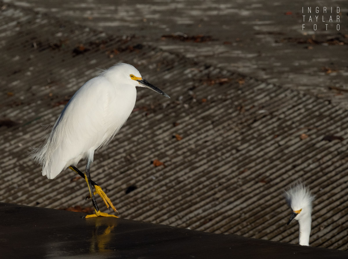 Egret on Ledge