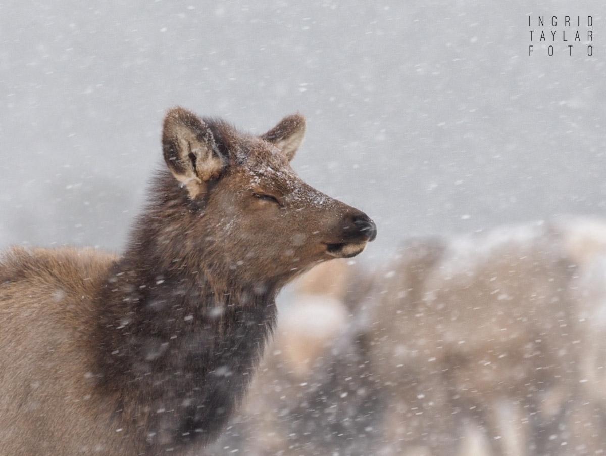 Elk in a Snowstorm in Estes Park
