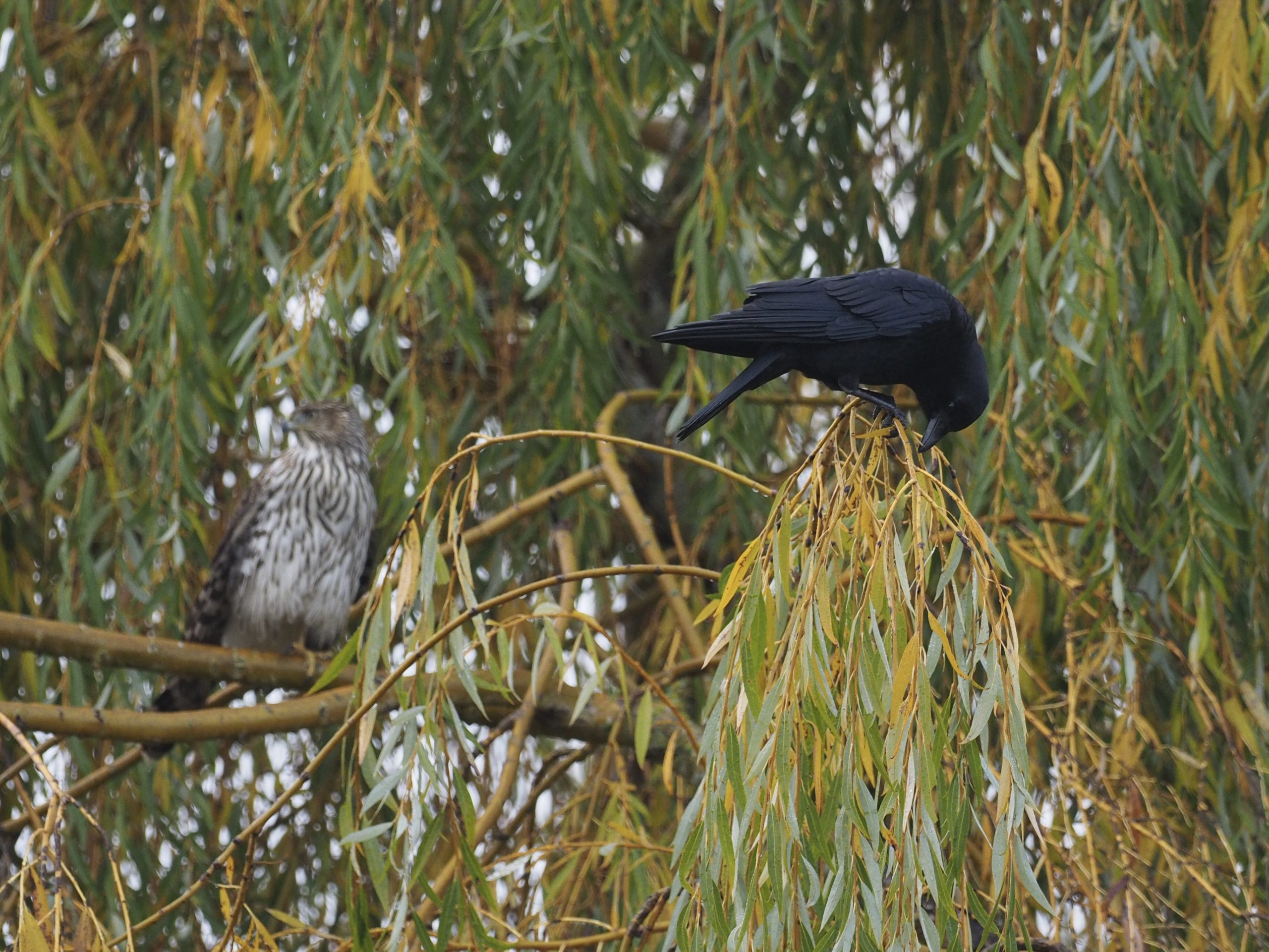 Cooper's Hawk and Crow